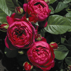 Чайно-гибридные розы Tantau (Тантау), Германия Ascot (Аскот), Tantau
