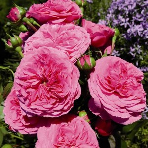 Розы флорибунда Tantau (Тантау), Германия Baronesse (Баронесса), Tantau