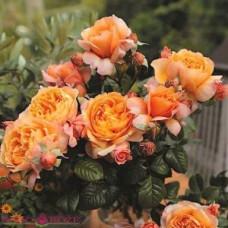 Чайно-гибридные розы Tantau (Тантау), Германия Capri (Капри), Tantau