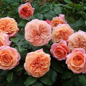 Чайно-гибридные розы Tantau (Тантау), Германия Chippendale (Чиппендейл), Tantau