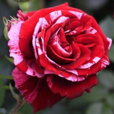 Розы флорибунда Tantau (Тантау), Германия Deep Impression (Дип Импрешн), Tantau