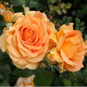 Розы флорибунда Tantau (Тантау), Германия Goldelse (Голдэлс), Tantau