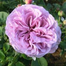 Патио, миниатюрные розы Tantau (Тантау), Германия Lavender Ice (Лавендер Айс), Tantau