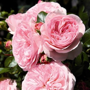 Розы флорибунда Tantau (Тантау), Германия Mariatheresia (Мариятерезия, Мария Терезия), Tantau