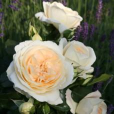 Розы флорибунда Tantau (Тантау), Германия Marie Antoinette (Мария Антуанетта), Tantau