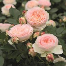 Розы флорибунда Tantau (Тантау), Германия Pastella (Пастелла), Tantau