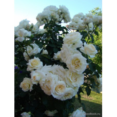 Плетистые розы Tantau (Тантау), Германия Schneewalzer (Шнеевальцер), Tantau