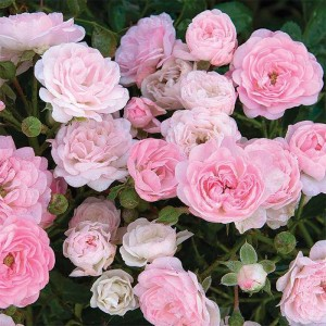 Кустовые розы (шрабы) Tantau (Тантау), Германия The Fairy (Зэ Фейри), Tantau