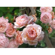 Кустовые розы (шрабы) David Austin (Дэвид Остин), Англия A Shropshire Lad (Э Шропшир Лэд), David Austin