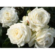 Плетистые розы  Kordes (Кордес), Германия Alaska (Аляска), Kordes