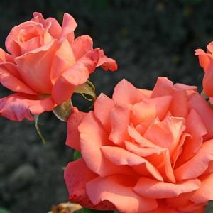 Чайно-гибридные розы  Kordes (Кордес), Германия Hamburger Deern (Гамбургер Деерн), Kordes