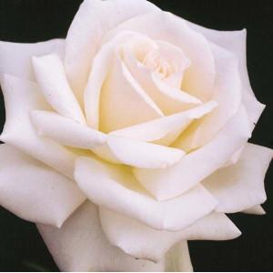 Чайно-гибридные розы Royal Philharmonic (Ройал Филармоник), Harkness