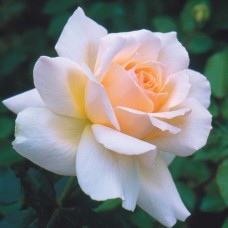 Чайно-гибридные розы Harkness (Харкнесс), Англия Chandos Beauty (Шандос Бьюти), Harkness