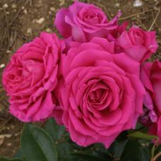 Розы флорибунда Claire Marshall (Клэр Маршалл), Harkness
