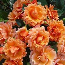 Розы флорибунда Harkness (Харкнесс), Англия Easy Does It (Изи Даз Ит), Harkness