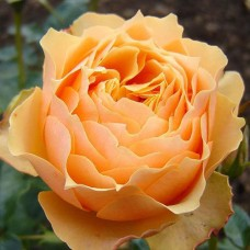 Розы флорибунда Henrietta Barnett (Ганриетта Барнет), Harkness