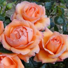 Розы флорибунда Harkness (Харкнесс), Англия Lady Marmalade (Лэди Мармелад), Harkness