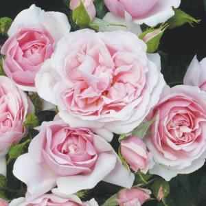 Розы флорибунда Natasha Richardson (Наташа Ричардсон), Harkness