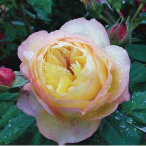 Кустовые розы (шрабы) Well Being (Велл Биинг), Harkness
