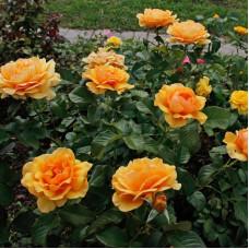 Розы флорибунда Amber Queen (Амбер Куин), Harkness