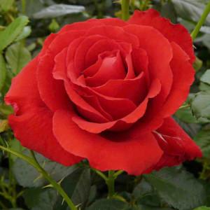 Чайно-гибридные розы Carris (Каррис), Harkness