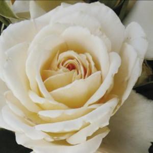 Розы флорибунда Cream Abundance (Крим Эбандэнс), Harkness