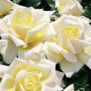 Чайно-гибридные розы Diamond Days (Даймонд Дэйс), Harkness