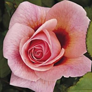 Кустовые розы (шрабы) Persian Mystery (Персиан Мистери), Harkness