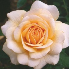 Кустовые розы (шрабы) Pure Gold (Пьюр Голд), Harkness