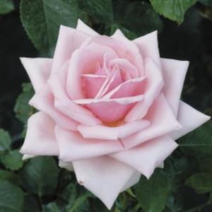 Чайно-гибридные розы Savoy Hotel (Савой Хоутэл), Harkness