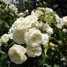 Кустовые розы (шрабы) Parky (Парки), Harkness