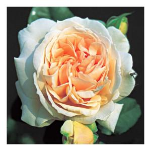 Кустовые розы (шрабы) Louisa Stone (Луиза Стоун), Harkness