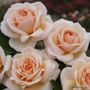 Чайно-гибридные розы  Kordes (Кордес), Германия Courage (Кураж), Kordes