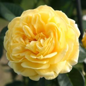 Розы флорибунда Tantau (Тантау), Германия Inka (Инка), Tantau