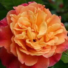 Плетистые розы  Kordes (Кордес), Германия Aloha (Алоха), Kordes