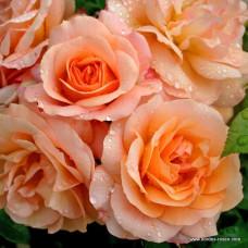 Розы флорибунда  Kordes (Кордес), Германия Aprikola (Априкола), Kordes