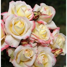 Чайно-гибридные розы  Kordes (Кордес), Германия Athena (Атена), Kordes