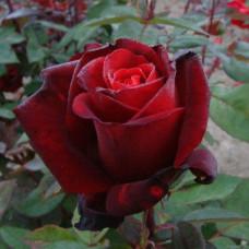 Чайно-гибридные розы Tantau (Тантау), Германия Barcarole (Баркароле), Tantau