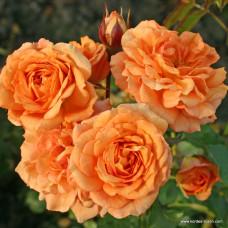 Кустовые розы (шрабы)  Kordes (Кордес), Германия Bentheimer Gold (Бентхаймер Голд), Kordes