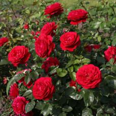Розы флорибунда  Kordes (Кордес), Германия Bordeaux (Бордо), Kordes