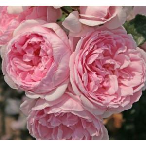 Кустовые розы (шрабы)  Kordes (Кордес), Германия Cinderella (Синдерелла), Kordes