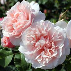 Кустовые розы (шрабы)  Kordes (Кордес), Германия Eifelzauber (Эйфельцаубер), Kordes