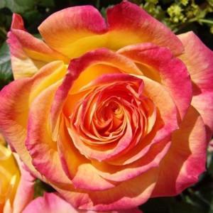 Розы флорибунда  Kordes (Кордес), Германия Gartenspass (Гартенспасс), Kordes