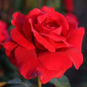 Чайно-гибридные розы  Kordes (Кордес), Германия Grande Amore (Гранд Аморе), Kordes