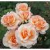 Чайно-гибридные розы  Kordes (Кордес), Германия Oh Happy Day (О Хэппи Дэй), Kordes