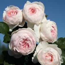 Розы флорибунда  Kordes (Кордес), Германия Herzogin Christiana (Герцогиня Кристиана), Kordes