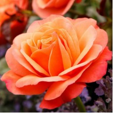 Розы флорибунда  Kordes (Кордес), Германия Coral Lions-Rose (Корал Лайонс Роуз), Kordes
