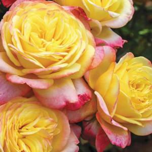 Чайно-гибридные розы  Kordes (Кордес), Германия Kordes Jubilee (Кордес Юбилей), Kordes