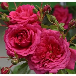 Плетистые розы  Kordes (Кордес), Германия Laguna (Лагуна), Kordes