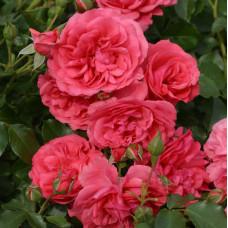 Кустовые розы (шрабы)  Kordes (Кордес), Германия Rosarium Uetersen (Розариум Ютерсен), Kordes